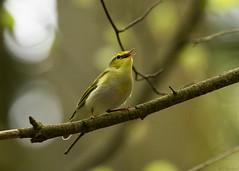 wood warbler (roly2008.) Tags: bird nature canon wildlife warbler songbird forestofdean woodwarbler 1dmkiv 100400mkii