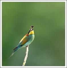 le jongleur (guiguid45) Tags: bird nature nikon loire oiseaux sauvage meropsapiaster europeanbeeeater loiret 500mmf4 d810 gupierdeurope
