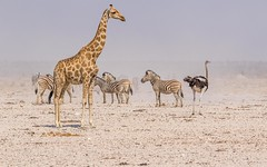 CAC_2455-20150925 (C&P_Pics) Tags: na zebra giraffe namibia oryx burchellszebra etoshanationalpark commonostrich omusati okaukuejocamptodolemitecampandhobarterelodge