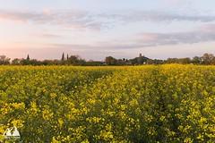 Burrow Mump (etunar) Tags: sunset field yellow landscape spring ruins dusk somerset crop yellowflowers canola rapeseed goldenlight rapeseedfield burrowmump somersetlevels burrowbridge