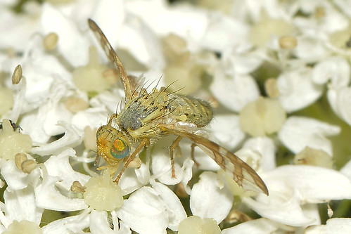Picture–wing Fly — Chaetorellia jaceae
