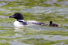 Fishing for the new chicks (rburtzel) Tags: minnesota swimming fishing babies feeding chicks mn loon commonloon bigwatablake