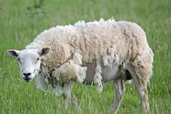 Easy-Care sheep (Finding Chris) Tags: easycare shearing selfshear northumberland fenhamlemoor farm wool coats