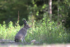 Hare (gallserud) Tags: hare wildlife skogshare