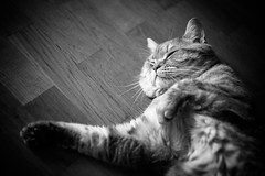IMGL6914.jpg (k.jenchik) Tags: portrait bw pet cat canon meow bnw scotish 50mmf18 czj pancolar homepet scottishstraight