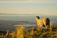 King (richardb27) Tags: new port king sheep hill hills zealand