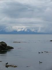 the bay_5649R (Michael.C.G) Tags: canadagoose bay mcneillbay oakbay