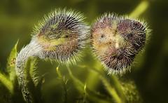 Ich fhle mich so zu dir hingezogen (ellen-ow) Tags: green natur blumen poppy grn makro mohnblume geschlossen nikond7000