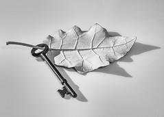 the key (unlearn_art) Tags: bw 50mm leaf key rangiora brachyglottisrepanda utata:project=ip236