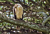 Eagle, Tawny 9-12 (Grete Howard) Tags: golkopjes kopje serengeti tanzania safari safariinafrica bestsafarioperator bestsafaricompany whichsafaricompany whichsafarioperator animals animalphotos animalsofafrica africa africansafari africanbush africananimals animal birds birdwatching birding gamedrive