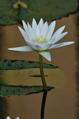 LongwoodGardens_06_18_2016_DSC_1087 (Jeff Adukinas) Tags: reflection water waterlily longwoodgardens liliy