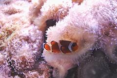 Single Animal Aquatic Aquarium Sea Anemone Clown Fish Fish Tropical Fish Animals Tropical Saltwaterlife (Shannon F Gorman) Tags: singleanimal aquatic aquarium seaanemone clownfish fish tropicalfish animals tropical saltwaterlife