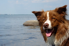 My dog - Whisky (SergeK ) Tags: blue summer chien brown white canada water river explore whisky bordercollie sergek