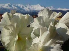 viole bianche e Monviso sullo sfondo (solonanda non c' pi) Tags: flowers nature cielo fiori azzurro bianco viole musictomyeyeslevel1