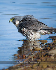 Bathing Peregrine (Nick Chill Photography) Tags: bird nature water animal fauna nikon bath sandiego wildlife stock lamesa raptor spy falcon bathing animalia avian birdofprey peregrine peregrinefalcon lakemurray d90 stockimage duckhawk falcoperegrinuspealei avianexcellence nickchill nww12