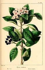 Anglų lietuvių žodynas. Žodis malus fusca reiškia <li>malus fusca</li> lietuviškai.