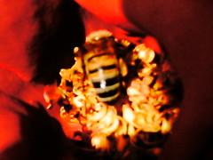 PTDC0130 (Maggie Mbroh, joeyjorie) Tags: flowers roses flower petals bees petal pollen signsofspring signofspring beesandpollen beesandroses rosesandbees antiquarose luckyladyrose nightanddayrose greatshowrose beeandroses