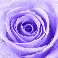 Purple Rose with Water Droplets (Natalie Kinnear) Tags: pictures flowers roses flower floral rose print bathroom photography photo droplets petals bedroom soft pretty purple photos lounge picture wallart drop photographic romance hallway petal canvas photographs photograph diningroom bloom raindrops droplet prints romantic blooms delicate waterdrops frontroom raindrop gentle nataliekinnear canvses