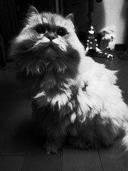 R0013289 (tokunei) Tags: bw pet cat ねこ 貓 pengpeng 砰砰 grd3