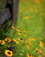 """The Original {prior to the crop}for print (Wonderfully Made Images) Tags: flowers nature floral fence outside outdoors texas naturallight wildflowers brava picnik photographyrocks canon40d photographersgonewild awesomeblossoms """"flickraward"""" ashowoff linnelou"""