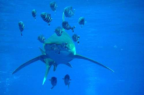 hochseeweißspitzenhai