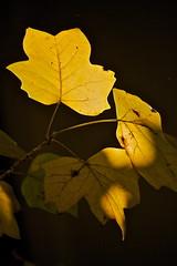 Autumn leaves (Deb Jones1) Tags: autumn nature beauty leaves yellow canon garden botanical outdoors leaf flora flickawards debjones1