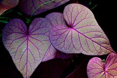 Purple love heart leaves (Deb Jones1) Tags: love nature beauty leaves canon garden hearts botanical outdoors leaf flora purple mauve lovehearts flickawards debjones1