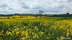 Carpet of Yellow (Bob.W) Tags: yellow rapeseed thegalaxy mygearandme mygearandmepremium blinkagain rememberthatmomentlevel1