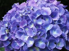 (Cher12861) Tags: flower macro nature beauty closeup hydrangea prettypetals blueorpurple makemoocard fromthearchivesfromjuly2009