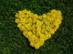 Alles Liebe zum Muttertag! (happycat) Tags: flower yellow heart international creation gelb blume wildflower blte herz madebyme kreativ inmygarden lwenzahn aktionstag muttertag eigenkreation wildblume kreation meingarten gewhnlicherlwenzahn taraxacumsectruderalia owncreation blumenherz buchstabenfotogruppe myownnaturecreation hwieherzausblten