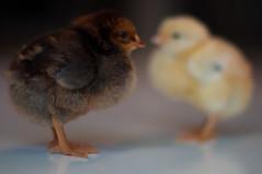 Brown&Yellow (d0gXxX) Tags: chicks pulcini