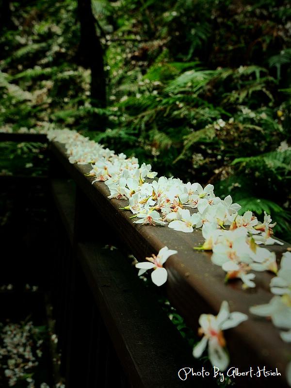 【油桐花】苗栗頭屋.薰衣草森林(在薰衣草森林中遇見油桐花)