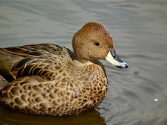 Yellow-billed Pintail (P. Stubbs photo) Tags: duck waterfowl wildfowl aviculture yellowbilledpintail anasgeorgica wwtmartinmere southgeorgianpintail