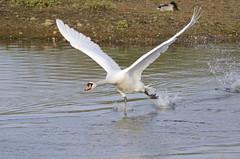 Mute Swan Take Off (Rob'81) Tags: uk fly swan wildlife flight off take muteswan brandonmarsh