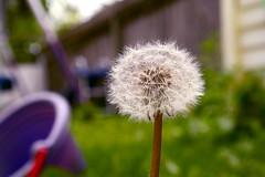 Anglų lietuvių žodynas. Žodis dandelion reiškia n bot. kiaulpienė lietuviškai.