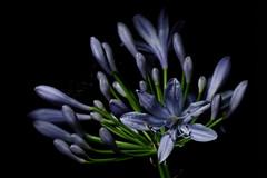 Purple Flower (hpaton1) Tags: flowers plants macro flash dxo pocketwizard highspeedsync canonspeedlite580exii canoneos7d