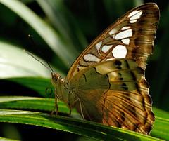 PARTHENOS SYLVIA (Andreu Anguera) Tags: girona mariposa gerona parthenossylvia papallona butterflypark volvoreta castellódempuries andreuanguera butterfaly