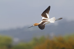 Anmerican Avocet [Explored best position #73] (bmse) Tags: wings san flight joaquin wingspan avocet amercan salahbaazizibmsecanon7d400mm56