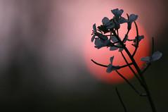 The Japanese look (Wilamoyo) Tags: light sunset red wild sun plant colour macro up dark stem close sundown bokeh ccolor