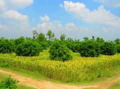 Wheat crop with Orange Trees, Punjab Pakistan (Sfaraz) Tags: pakistan punjab fieldsinpunjab malakwaal