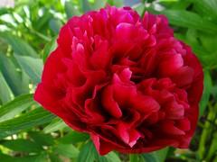 "Frohe Pfingsten (Gartenzauber) Tags: red flower macro rot nature sony natur blume pfingstrose coth floralfantasy thegalaxy amazingdetail danmcool coth5 ""doublefantasy"" magicmomentsinyourlife"