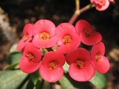 Euphorbia milii -   (yoel_tw) Tags: red euphorbia crownofthorns euphorbiaceae euphorbiamilii  malpighiales awesomeblossoms