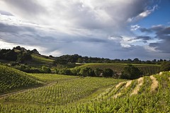 May Rain on the Vineyards (Tom Moyer Photography) Tags: california clouds vineyard vines sonomacounty winecountry