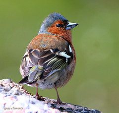 male chaffinch (gray clements) Tags: birds wildlife ngc explore devon npc dartmoor chaffinch postbridge britishbirds malechaffinch mygearandme mygearandmepremium mygearandmebronze mygearandmesilver mygearandmegold