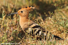 Hoopoe (set 2) (gcampbellphoto) Tags: bird nature spain wildlife mallorca hoopoe balearics sacoma puntadenamer gcampbellphotocouk