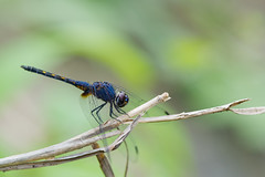 Dragonfly #16 (thai-on) Tags: macro nature insect thailand nationalpark nikon dragonfly creature d3 worldheritage khaoyai prachinburi