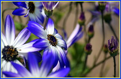 Dorothy Frances Gurney ... (* RICHARD M (Over 5.5 million views)) Tags: flowers blue nature garden petals flora poetry stamen botany poets dorothyfrancesgurney