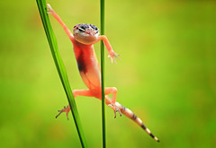 """gecko (shikhei) Tags: specanimal fantasticnature specialpicture goldsealings """"physis"""