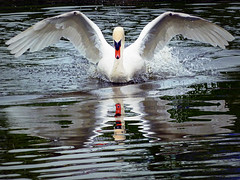 In the eyes of its mother every turkey is a swan (jjamv) Tags: uk white lake reflection bird nature water birds animal swan wildlife swans hertfordshire hemelhempstead thegalaxy topshots 100commentgroup panoramafotogrfico theoriginalgoldseal flickrsportal jjamv bestofblinkwinners julesvtravel flickrstruereflection1 flickrstruereflection2 flickrstruereflection3 allofnatureswildlifelevel1 rememberthatmomentlevel1 flickrsfinestimages1 me2youphotographylevel1