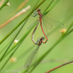 another irresistible damselfly heart! (devonteg) Tags: macro nikon heart may handheld mating damselflies 2012 pyrrhosomanymphula largereddamselfly softrush lr4 reddamselfly d7000 giveusyourbestshot mothernaturesgreenearth nikkor105f28mmgvrmicro 522012week22 devontegdragonfliesdamselfliesassignment